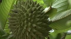 Wild seasonal fruit - stock footage