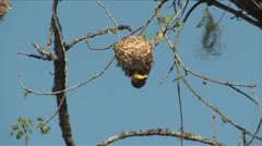 African Weaver hanging upside down from nest South Africa Stock Footage