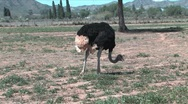 Stock Video Footage of A male ostrich walking South Africa
