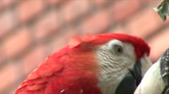 Macaw bird eats Stock Footage