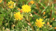 HD Dandelion flower and a caterpillar on it Stock Footage