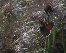 PAL Dandelion flower and butterfly Stock Footage