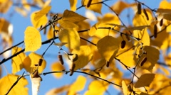 Autumn bright yellow birch leaves Stock Footage