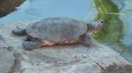 Turtle sunning on rock in Etosha National Park, Namibia Stock Footage