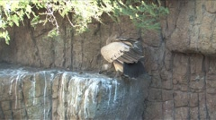 White backed Vulture in South Africa Stock Footage