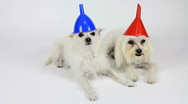 Stock Video Footage of Dogs Wear Funny Colorful Cone Hats