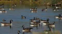 Canadian Geese and Ducks Stock Footage