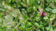 Stock Video Footage of Two butterflies and a bee