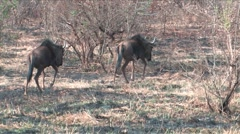 Gnu in Hluhluwe Game Reserve Stock Footage