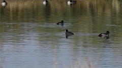 American Coot Diving for Food Stock Footage