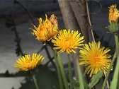 PAL Dandelion flowers Stock Footage