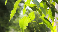 HD Green leaves and branches of the Elm tree Stock Footage