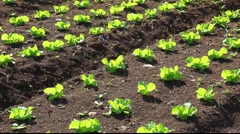Vegetables in the field and garden bed Stock Footage