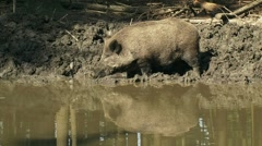 Stock Video Footage of European wild boar (sus scrofa ) browsing along mud pool H708007 074728