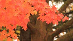Bright orange leaves move in the breeze (HD) k Stock Footage