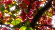 Japanese Cherry Blossom Tree ARTCOLORED 01 Stock Footage
