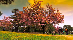 Japanese Cherry Blossom Tree ARTCOLORED 03 Stock Footage