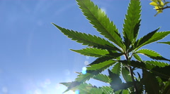 Marijuana plant with sun glare Stock Footage