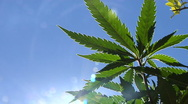 Marijuana plant with sun glare Stock Footage