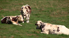 Cows 02 Stock Footage
