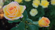 Stock Video Footage of Dew coverd roses