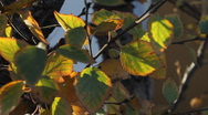 Stock Video Footage of Sun Through Yellow Green Leaves