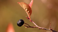 Wild bilberry on the twig,autumn season. Close up. Stock Footage
