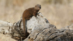 Dwarf mongoose Stock Footage