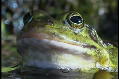 Frog, water Stock Footage