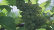 Stock Video Footage of Chardonnay 4