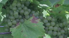 Chardonnay 3 - stock footage