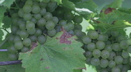 Stock Video Footage of Chardonnay 3