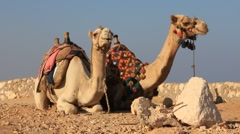 Egyptian camels Stock Footage