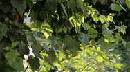 HD Green leaves of poplar swaying in the wind Stock Footage