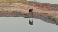 Stock Video Footage of African Open-billed Stork Chobe