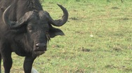 Stock Video Footage of Cape Buffalo Chobe