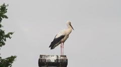 White Stork on Chimney Stock Footage