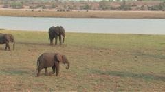 Herd of Elephants in Chobe - stock footage