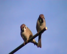 Sparrows interacting - stock footage