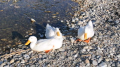 Wild Ducks at the Sea Side Stock Footage