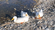 Stock Video Footage of Wild Ducks at the Sea Side