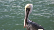 Stock Video Footage of Pelican stare #2 (slow zoom)