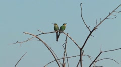 Swallow-tailed Bee-eater Chobe Stock Footage