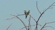 Stock Video Footage of Swallow-tailed Bee-eater Chobe