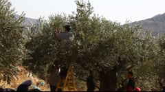 Druze family harvests olives Stock Footage