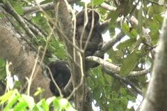Wild mantled howler monkeys (Alouatta palliata) Stock Footage