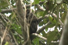 Wild mantled howler monkey with baby in the wild Stock Footage