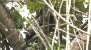 Wild mantled howler monkeys-2  (Alouatta palliata) one with baby  Stock Footage