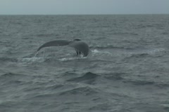 Humpback Whale dive and bird in Ecuador Stock Footage