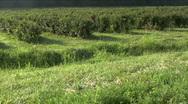 Black berry field Stock Footage